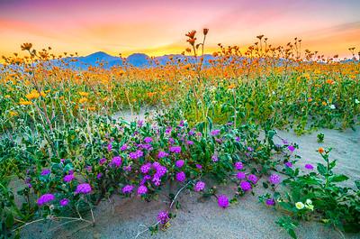 Anza-Borrego Spring Symphony #1: Anza Borrego Desert State Park Wildflowers Superbloom Fine Art Landscape Photos!  Elliot McGucken's Anza-Borrego Desert State Park Wild Flowers Super Bloom Fine Art Landscape Nature Prints & Wall Art