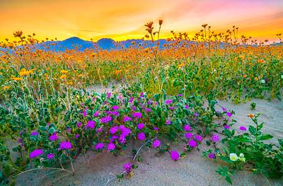 Anza-Borrego Spring Symphony #2: Anza Borrego Desert State Park Wildflowers Superbloom Fine Art Landscape Photos!  Elliot McGucken's Anza-Borrego Desert State Park Wild Flowers Super Bloom Fine Art Landscape Nature Prints & Wall Art