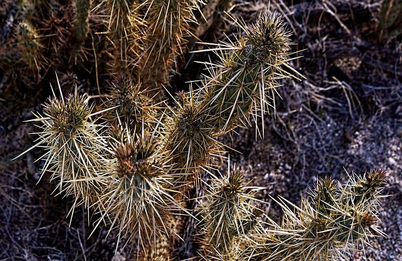 Hedge hog cactus
