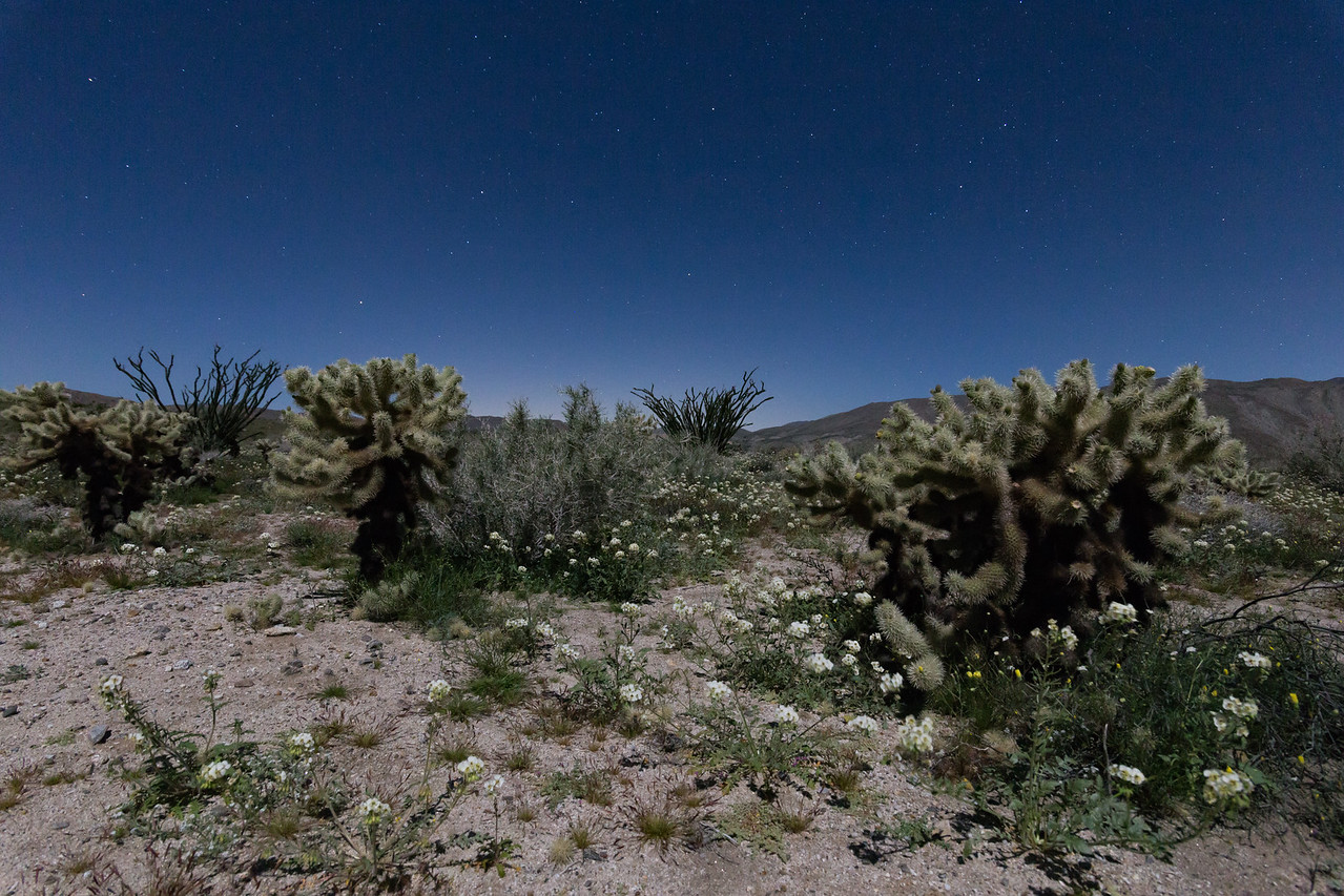 Some Cholla, ocotillo and White Wildflowers in The Anza-Borrego Desert at Nighttime