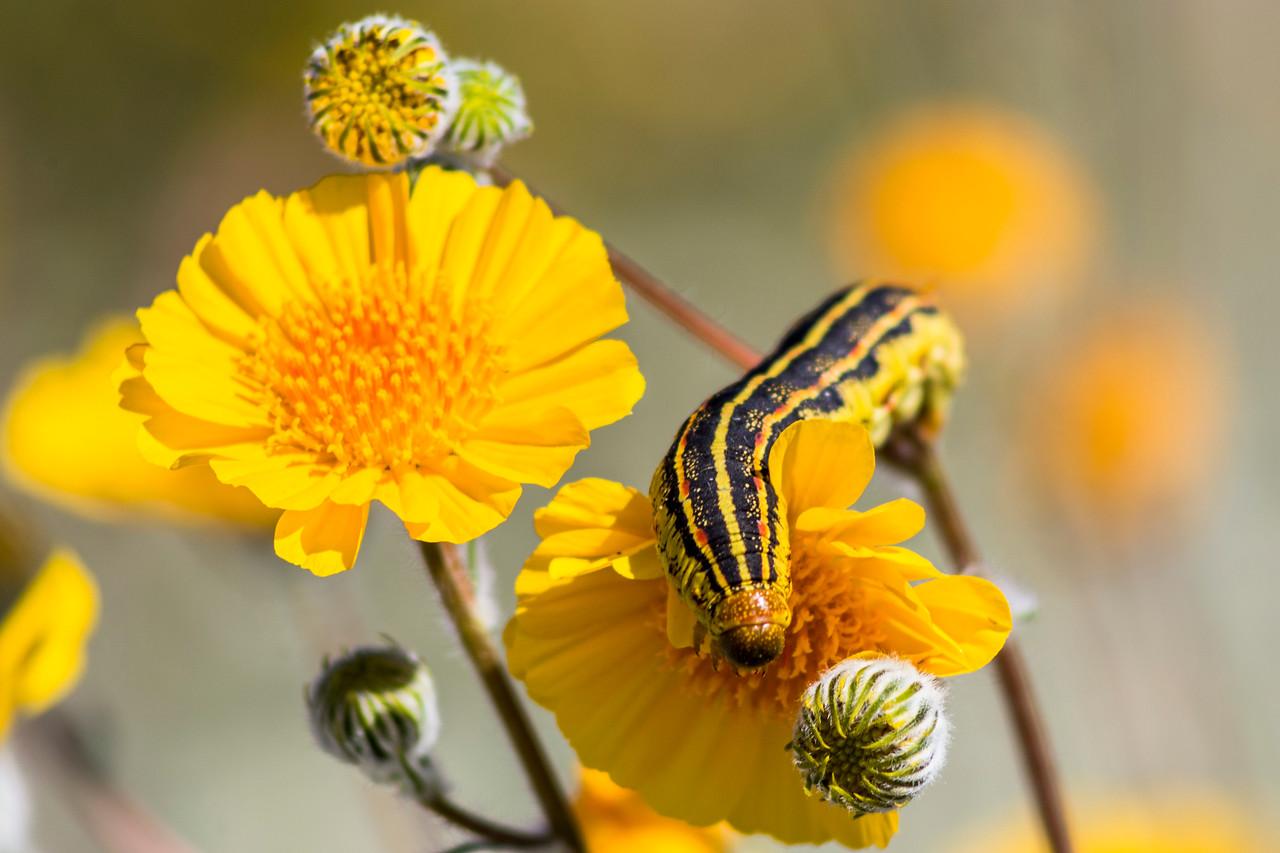 Sphinx moth caterpillar on a desert sunflower (Geraea canescens) in Anza-Borrego Desert State Park.