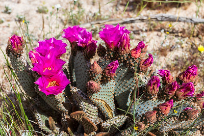 Blooming beavertail cactus.