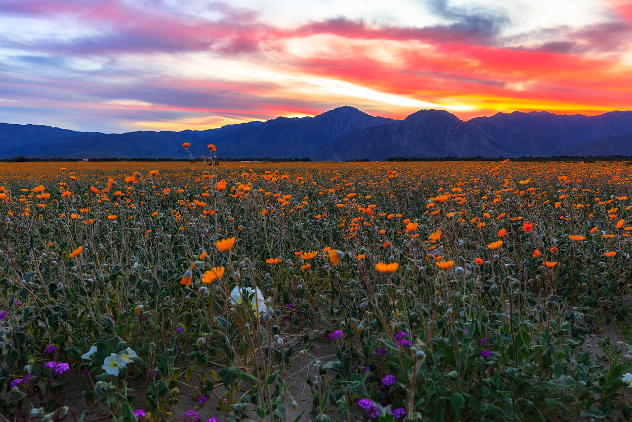 2017 Anza-Borrego Wildflowers and an Epic Sunset at Henderson Canyon