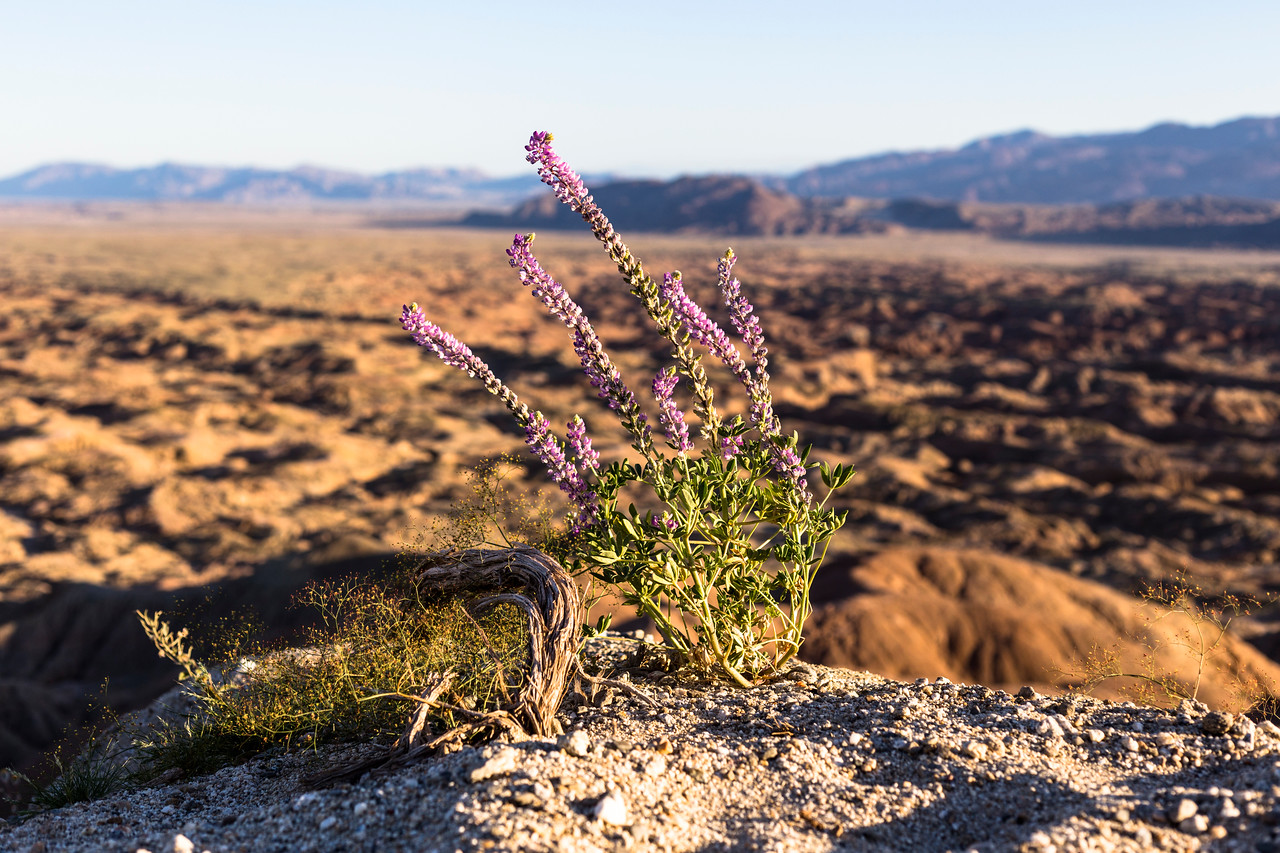Desert lupine in the foreground and barren badlands in the background.