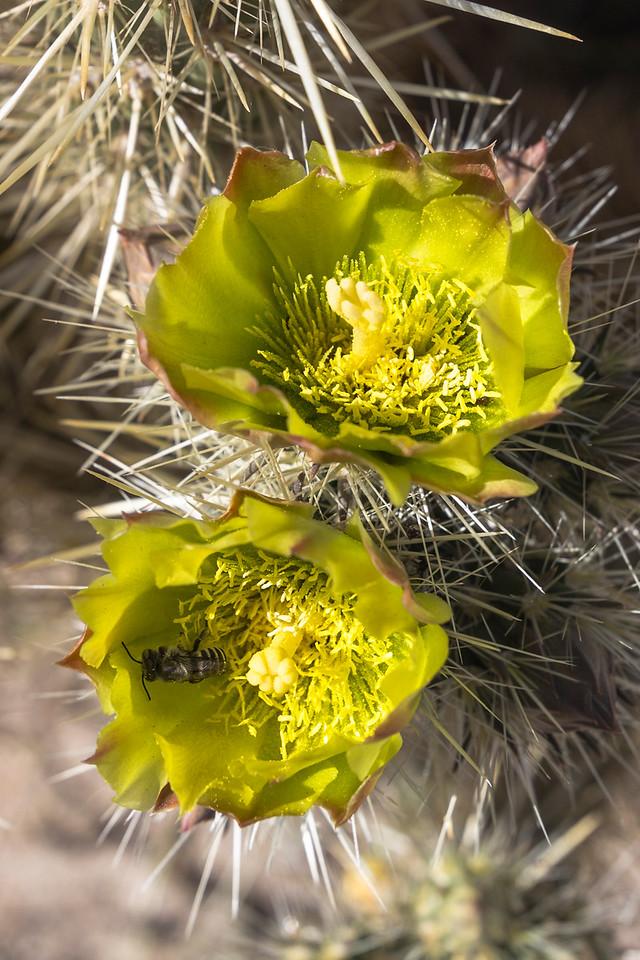 Cholla cactus in bloom