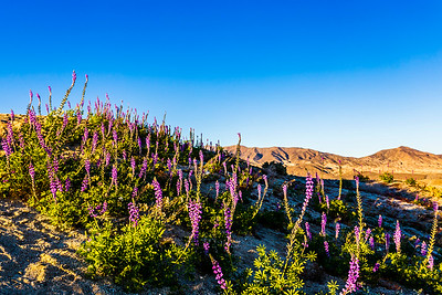 Lush lavender lupines blooming beautifully between Borrego Badlands