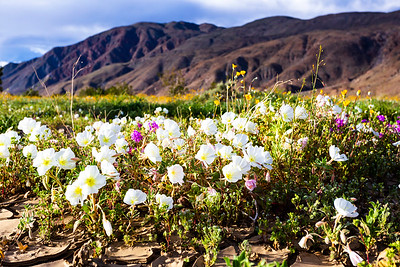 California evening primrose in Henderson Canyon