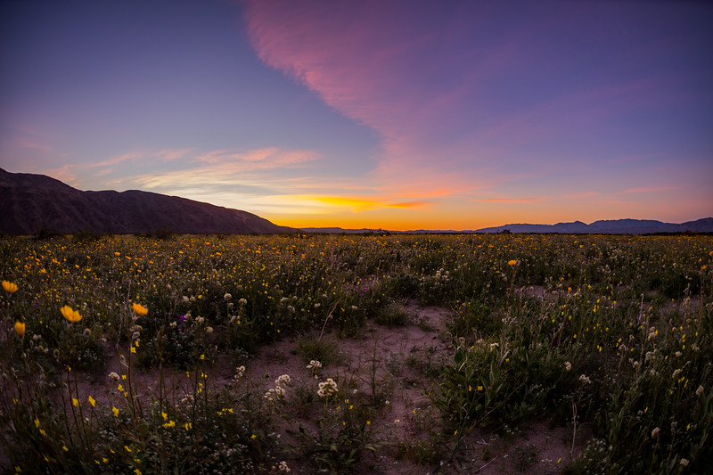 2017 Anza-Borrego Wildflowers And A Colorful Sunrise