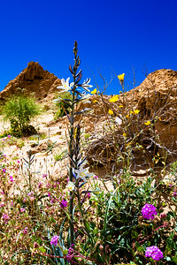Anza-Borrego Desert Wildflowers Superbloom 2019
