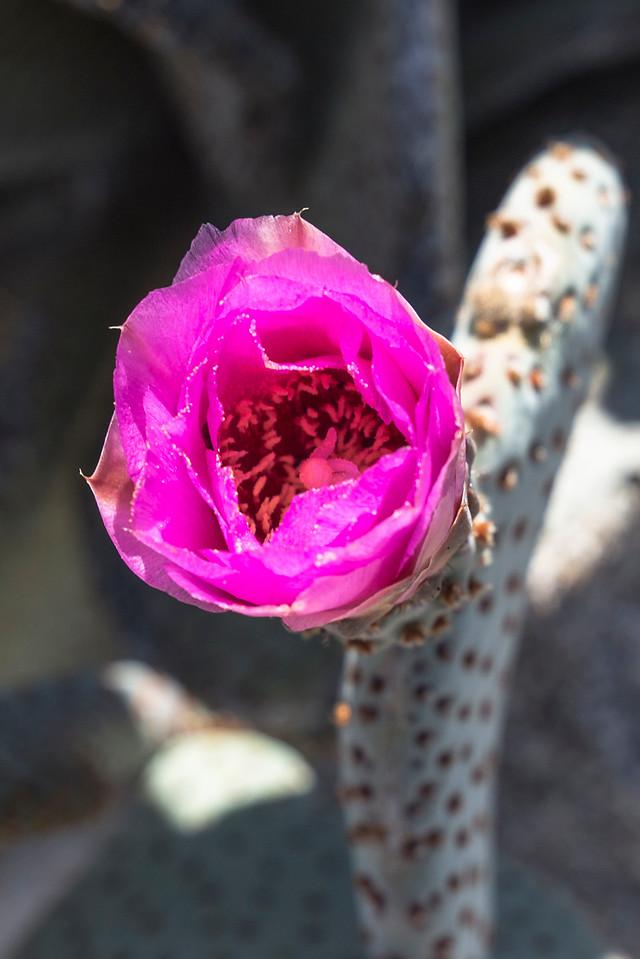 Beavertail cactus in bloom