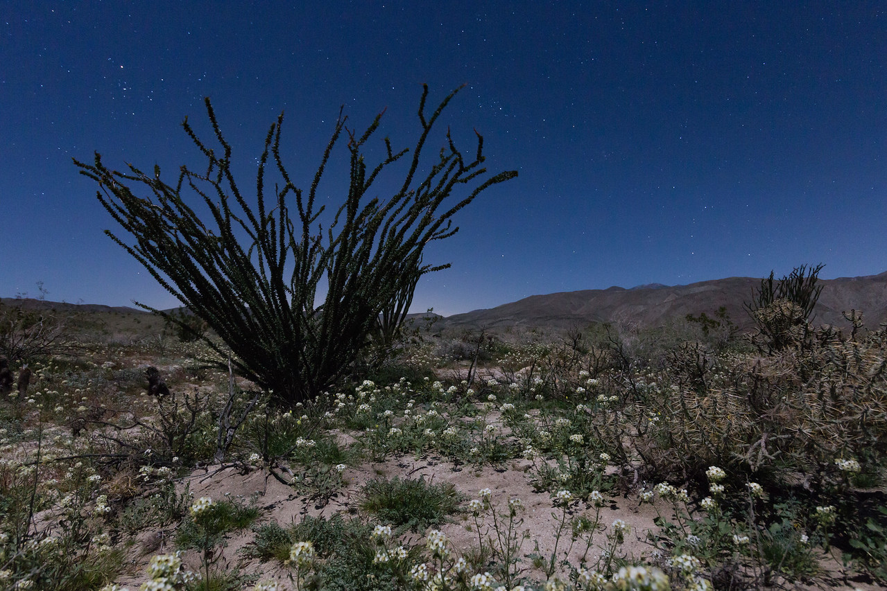 A Very Deep Green Ocotillo and Whilte Wildflowers in The Anza-Borrego Desert at Nighttime