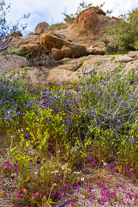 Assorted Wildflowers In the Anza-Borrego Desert