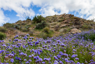 Wild Canterbury Bells (Phacelia minor) and jagged rocks