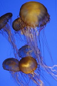 Monterrey jellies