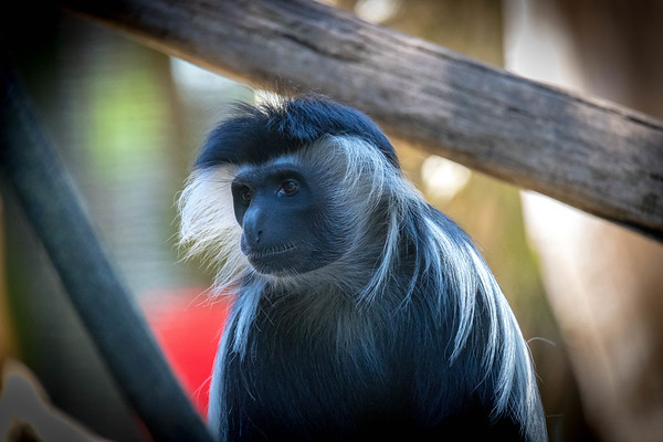 Apes, Monkeys and Primates_1