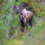 Reflective Moose