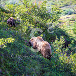 Grazing Grizzlies