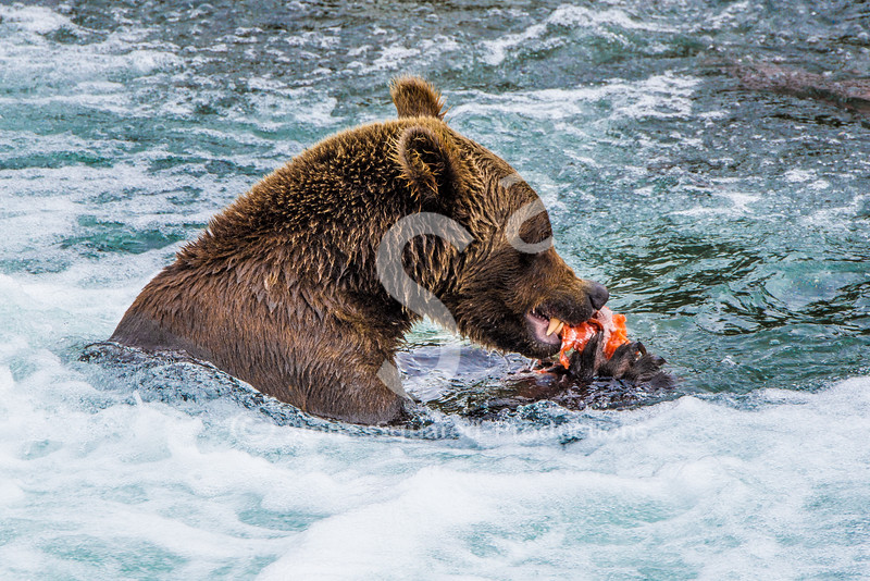 Sashimi Grizzly