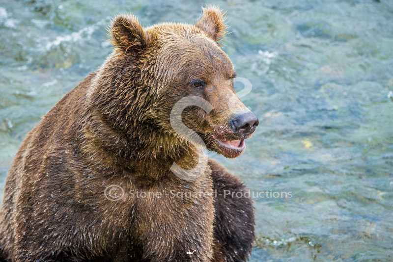 Fishy Face Grizzly