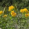 Asclepias tuberosa, Butterfly Weed (yellow form); Pima County, Rincon Mountains, Arizona 2008-08-05   2