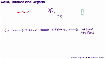 Cells Tissues and Organs
