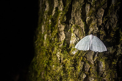 The Pale Beauty (Campaea perlata) is a species of moth in the family Geometridae. This individual was photographed in the Elkmont section of Great Smoky Mountains National Park in Tennessee.
