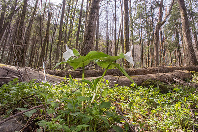 A pair of White trilliums (Trillium grandiflorum), with old growth hardwood forest in the background  at Great Smoky Mountains National Park, Tennessee.