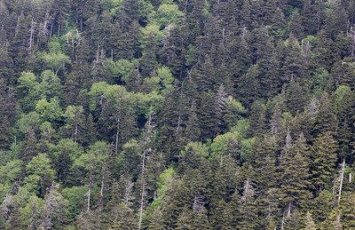 A tree-covered mountainside near Mt. Leconte in Great Smoky Mountains National Park. The dead trees are hemlocks and spruces (Tsuga spp.; Picea spp.) that have been attacked by the Hemlock woolly adelgid (Adelges tsugae).