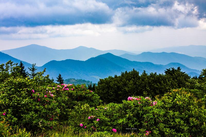 Roan Mountain Rhodos