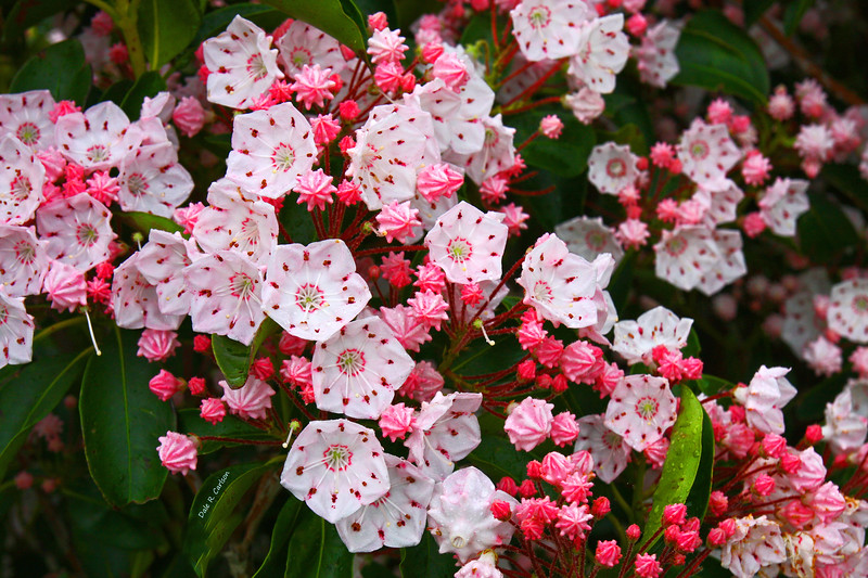 Mountain Laurels