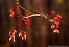 Red Maple Blooms
