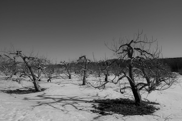 apple trees, Westhampton