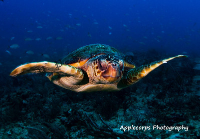 Loggerhead In Flight