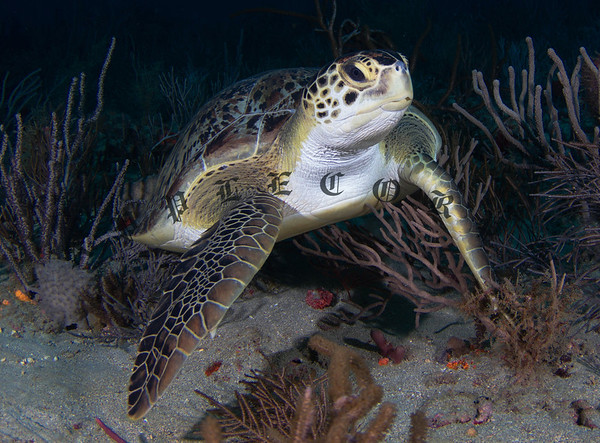 This Green Turtle was the first thing I saw when we dropped onto the reef . . . beautiful as Greens tend to be . . . .