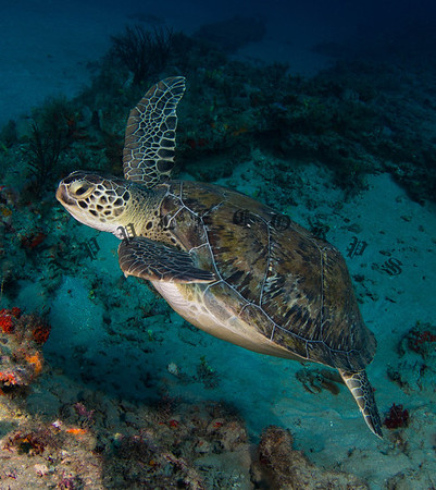 The Green Turtle decides to pick up the pace and stretches out to accelerate upward . . .