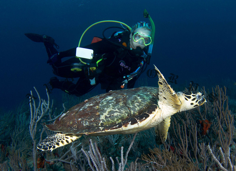 My friend Conny swam along with this young Hawksbill Turtle for a few minutes.  The turtle seemed stunned by the cold (like us!) and was in no hurry to escape our company.