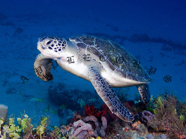 This Green Turtle was swimming along the top of the reef where the coral is more colorful . . .