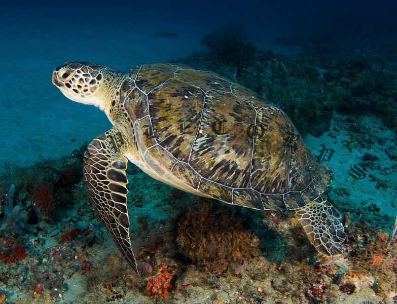 """Green Turtle swimming along the bottom of the reef at """"Tunnels"""" where the water was the coldest . . . I came down from 25 ft above to capture this one and then got back up to warmer water."""