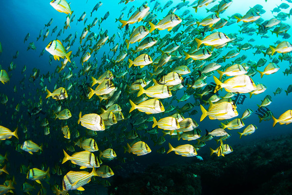 "This school of Porkfish or ""Porgys"" was the largest that I've ever seen . . . hundreds or thousands in this school . . too large to count!"