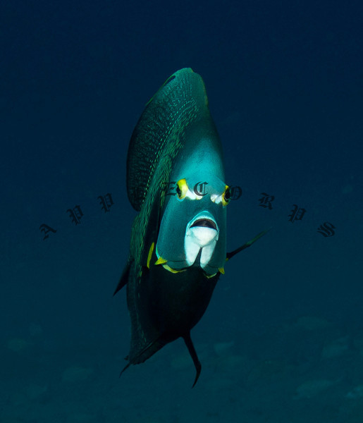 BlueTangSep17_2012-2
