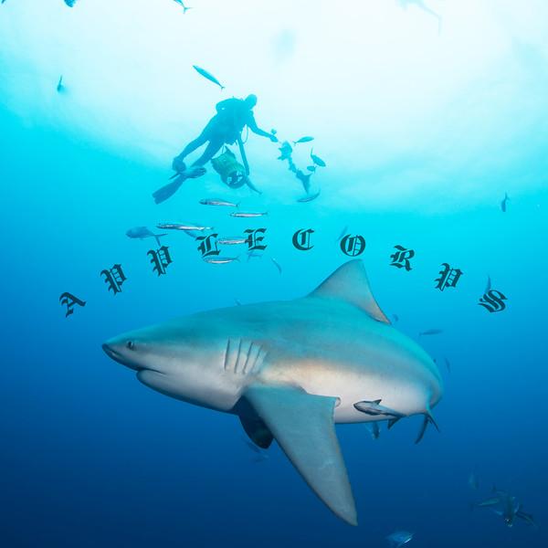 Bull Shark