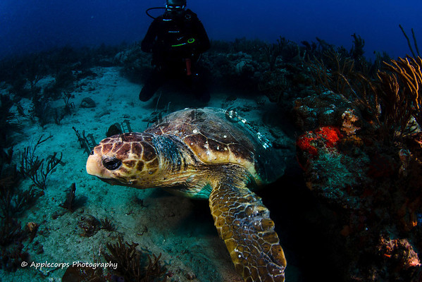 Bob and I were sufficiently annoying and this Loggerhead Turtle decided to make a quick exit!