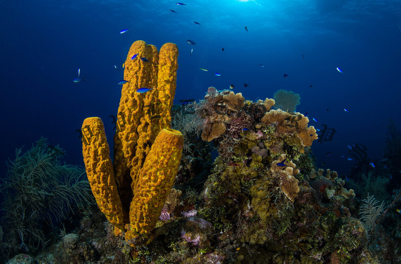 Spong Coral, Grand Cayman