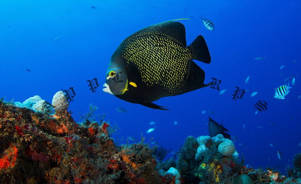 French Angelfish, Juno Beach, FL