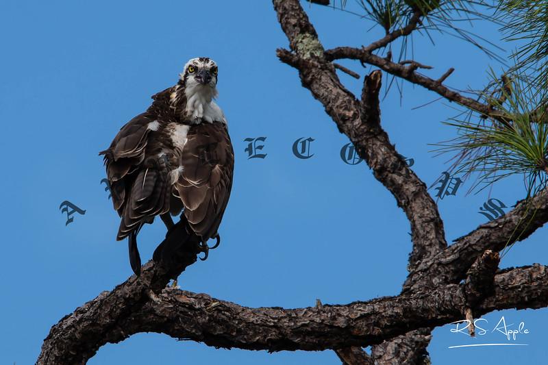 Osprey_Nov30_2020-16