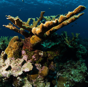 Elkhorn Coral, Grand Cayman