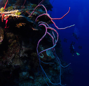 Rope Coral, Grand Cayman