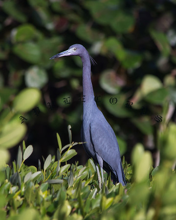 Blue Heron Pics-14