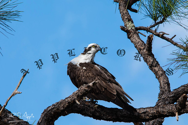 Osprey_Nov30_2020-54