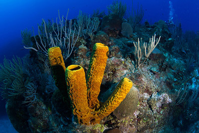 Sponge Coral, Grand Cayman